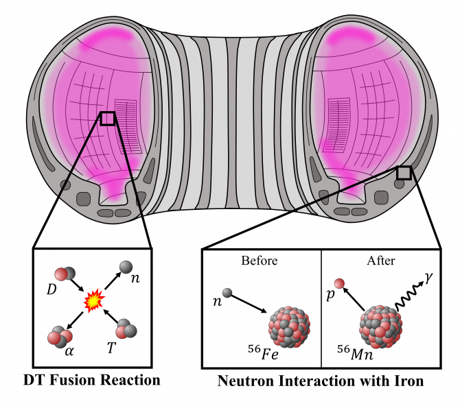 Picture 1: An illustration of nuclear reactions inside a tokamak device. Bottom left: inside the plasma, deuterium and tritium fuse together in a high temperature plasma releasing a neutron and an alpha particle. Bottom right: Neutrons cause activation by way of interactions with atoms, such as iron. This results in transmutation to other elements, such as manganese and the release of characteristic gamma rays using radioactive decay processes.
